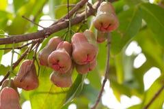 Mela di Rosa sull'albero in giardino Fotografie Stock