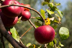 Mela marcia tipica italiana sull'albero nel mio giardino fotografia stock