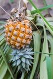 Mela matura del pino Fotografia Stock Libera da Diritti