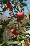 Mela matura rossa sul primo piano del ramo dell'albero in giardino Immagini Stock