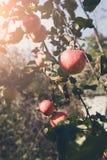 Mela matura sul primo piano del ramo dell'albero in giardino Immagini Stock Libere da Diritti