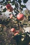 Mela matura sul primo piano del ramo dell'albero in giardino Fotografia Stock