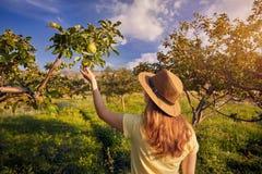 Mela piking della donna nel giardino Fotografia Stock Libera da Diritti