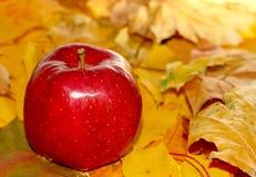 Mela rossa dell'azienda agricola rurale del fondo sulle foglie di autunno Fotografie Stock