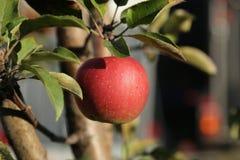 Mela rossa grande al sole su di melo Immagine Stock