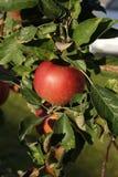 Mela rossa grande al sole su di melo Fotografia Stock Libera da Diritti