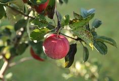 Mela rossa grande al sole su di melo Fotografie Stock