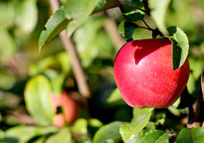 Mela rossa organica dell'azienda agricola sul ramo di albero Fotografia Stock