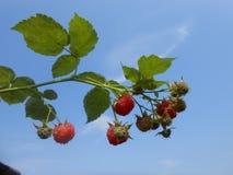 Mela rossa su un ramo Fotografia Stock