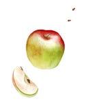Mela rossa verde dell'acquerello con i semi su fondo bianco Immagini Stock