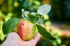 Mela succosa verde con le foglie in una fine della mano su Apple al sole nella mano Immagine Stock