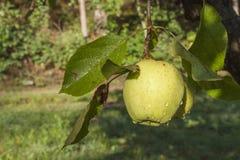 Mela verde con le gocce di acqua Le gocce di pioggia sulle mele verdi su di melo si ramificano Mele crescenti nel giardino Immagini Stock