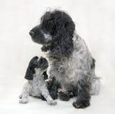 Melado azul del perro de aguas de cocker de la madre y del perrito Imagen de archivo