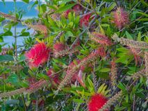 Melaleuca citrina lemon bottlebrush crimson in Greek Island royalty free stock photos