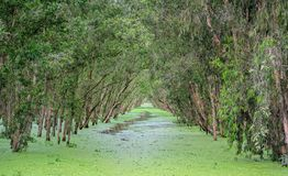 Melaleuca forest in sunny morning. With a path melaleuca trees along canal covered with flowers to create rich vegetation of the mangroves. This is green lung stock photography