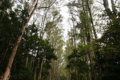 Melaleuca i skog Royaltyfria Bilder