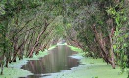 Melaleuca las w pogodnym ranku zdjęcia stock