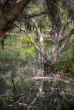 Melaleuca (Paperbark) Bomen in Moeras Stock Foto's