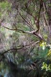 Melaleuca (Paperbark) Tree in Swamp Stock Photos