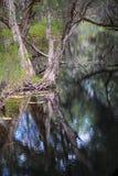Melaleuca (Paperbark) Tree in Swamp Stock Photo