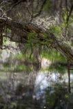 Melaleuca (Paperbark) Trees in Swamp Royalty Free Stock Image