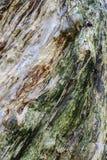 Melaleuca's bark Royalty Free Stock Images