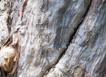 Melaleuca's bark Royalty Free Stock Photography