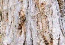Melaleuca`s bark Stock Photos