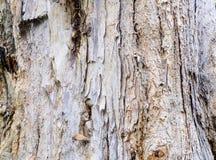 Melaleuca`s bark Royalty Free Stock Photography