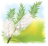 Melaleuca - tea tree. vector illustration