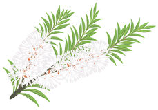 Melaleuca - tea tree. Royalty Free Stock Photos