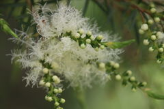 Melaleuca träd i blom Arkivfoto