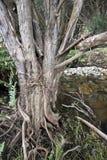 Melaleuca trunk, St Patricks River Royalty Free Stock Photo