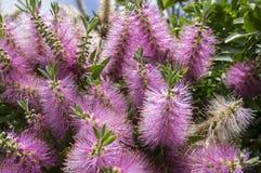 Melaleuca viminalis hot pink in bloom Stock Image