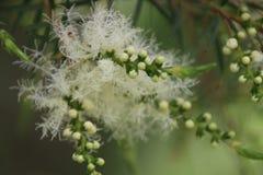 Melaleucaboom in Bloei stock foto