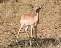 Melampus comune del Aepyceros dell'impala fotografia stock libera da diritti