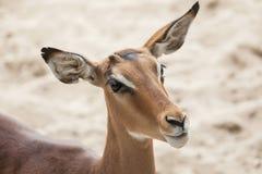 Melampus del Aepyceros del impala Fotografía de archivo libre de regalías