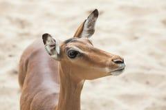 Melampus del Aepyceros del impala Imagen de archivo