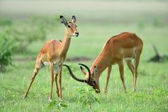 Melampus del Aepyceros del impala en parque natural africano Foto de archivo