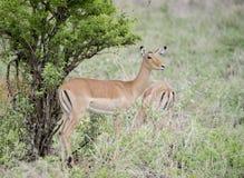 Melampus del Aepyceros del impala en Tanzania Imágenes de archivo libres de regalías