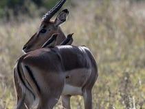 Melampus del Aepyceros dell'impala immagine stock libera da diritti