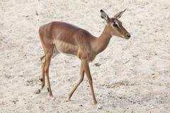 Melampus del Aepyceros del impala Foto de archivo