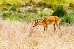 Melampus del Aepyceros del impala en el parque nacional de Serengeti Fotografía de archivo libre de regalías