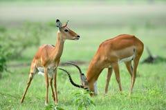 Melampus del Aepyceros del impala en parque natural africano Imagen de archivo libre de regalías
