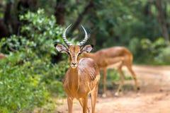 Melampus do Aepyceros da impala Fotografia de Stock Royalty Free