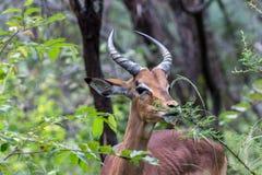 Melampus do Aepyceros da impala Fotos de Stock Royalty Free