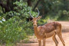 Melampus do Aepyceros da impala Fotografia de Stock