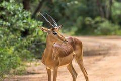 Melampus do Aepyceros da impala Imagens de Stock Royalty Free