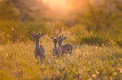 melampus masculin d'aepyceros de 3 jeune impalas au coucher du soleil, en parc national de Kruger, éclairé à contre-jour à l'heur image stock