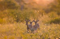 melampus masculin d'aepyceros de 3 jeune impalas marchant par le buisson en parc national de Kruger sud photographie stock libre de droits